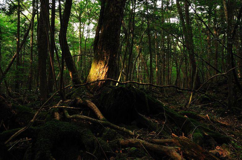 ao800px-Aokigahara_forest_01