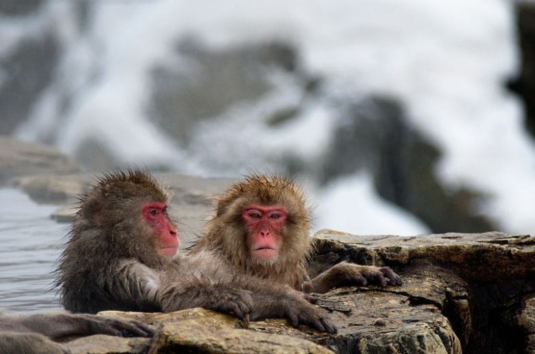 j800px-Japanese_Macaque_Fuscata_Image_367