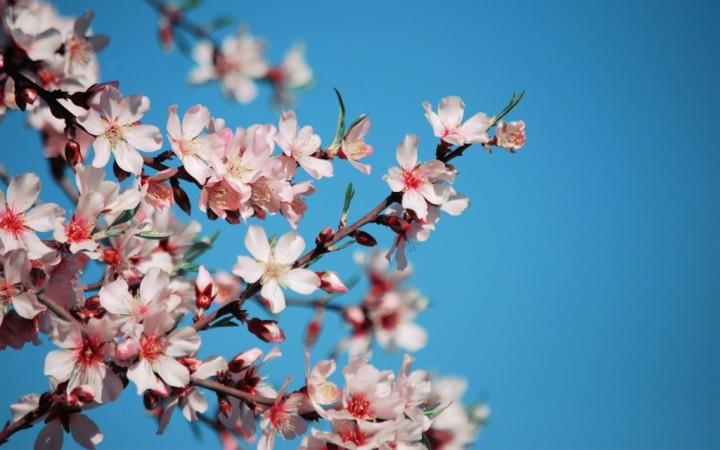 sakura-flower-HD-wallpaper-pics-1024x640