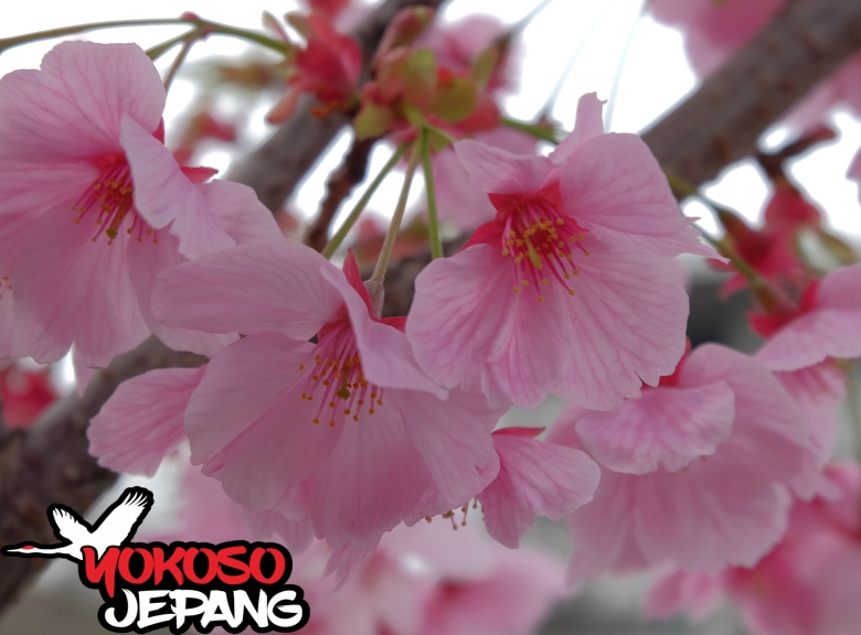 tour ke jepang sakura