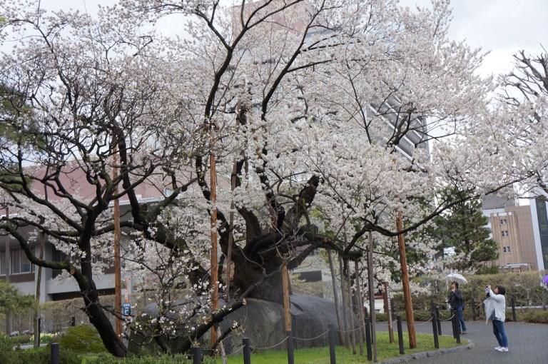 ishiwarizakura_rock_splitting_cherry_tree_morioka_japan