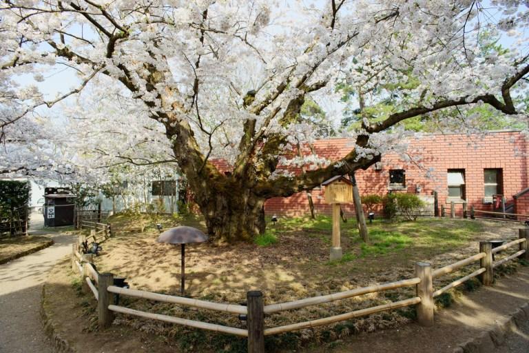 japan_oldest_somei_yoshino_cherry_tree_hirosaki_castle