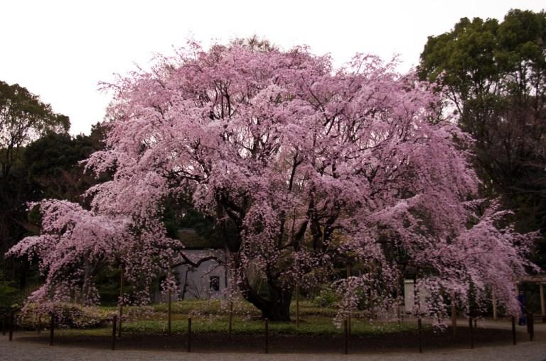 rikugien_garden_shidare_zakura_tokyo