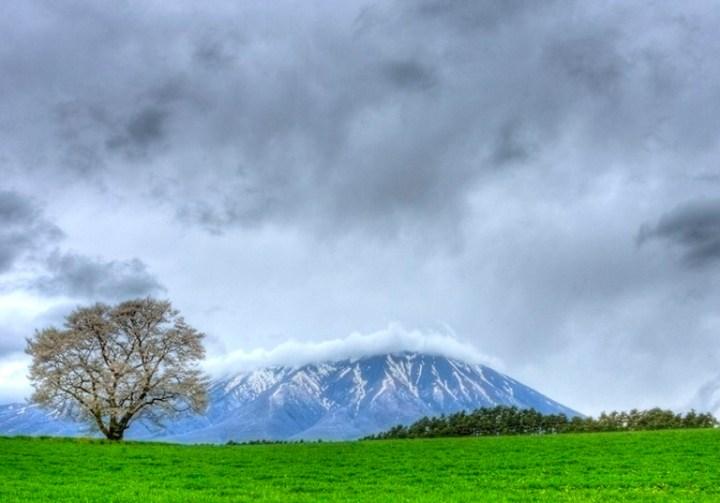 sakura_tree_koiwai_farm_iwate