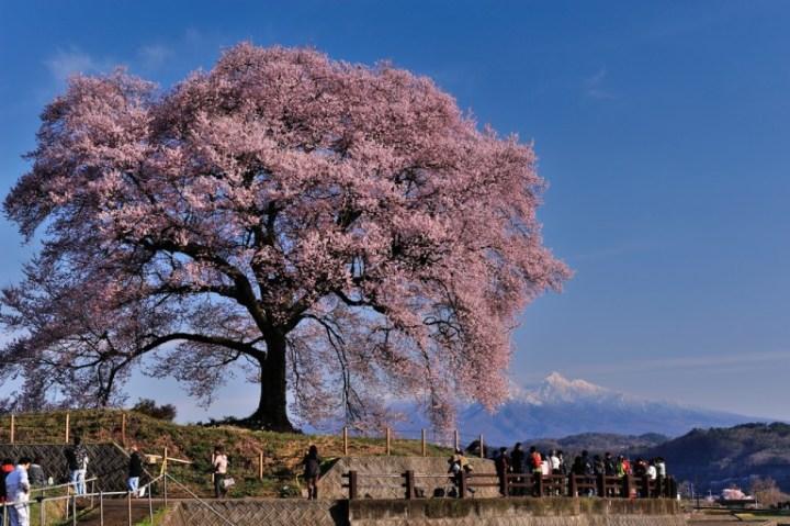 wanitsuka_sakura_tree_yamanashi