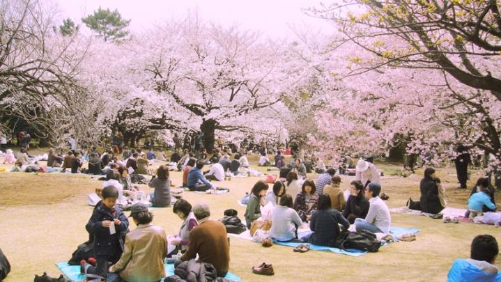 melihat sakura.jpg