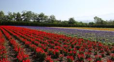 private paket tour ke jepang juli sapporo lavender di hokkaido