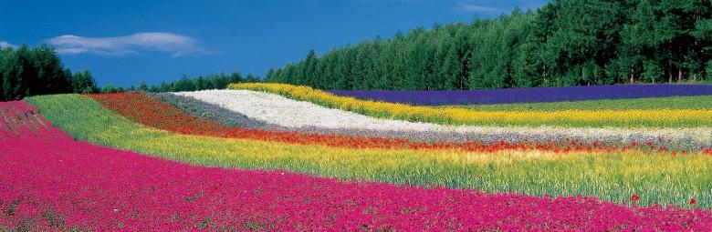 private paket tour ke jepang juli sapporo lavender hokkaido