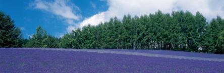 private paket tour ke jepang juli sapporo lavender jepang
