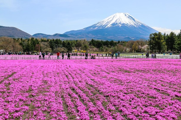 private tour jepang melihat sakura di festival shibazakura fuji
