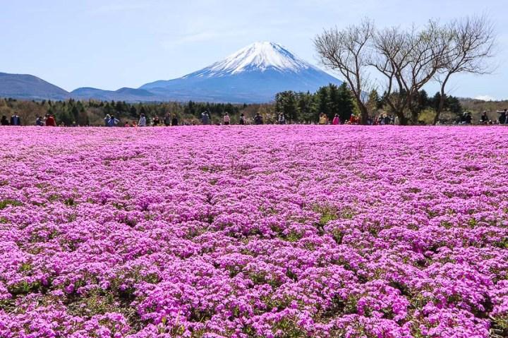 private tour jepang melihat sakura di festival shibazakura