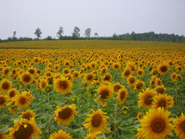 private tour jepang hokkaido Hokuryu of Sunflower Village kebun bunga matahari jepang 2