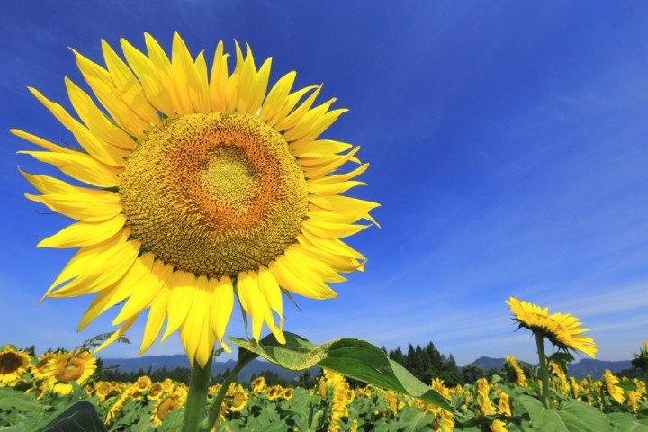 private tour jepang hokkaido Hokuryu of Sunflower Village kebun bunga matahari jepang 3