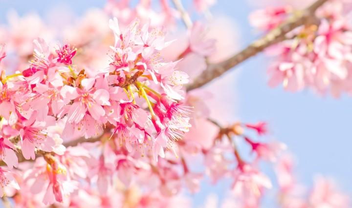 Tour Jepang Sakura Maret 2020